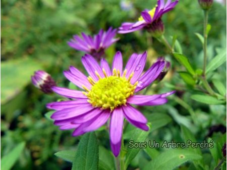 Aster ageratoides 'Yubae'