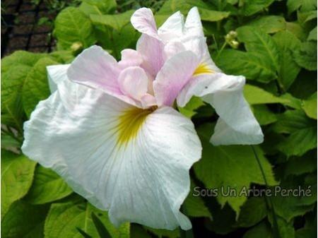Iris ensata 'Suiei'