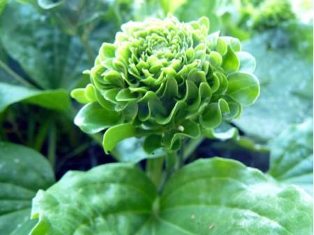 Plantago rosularis